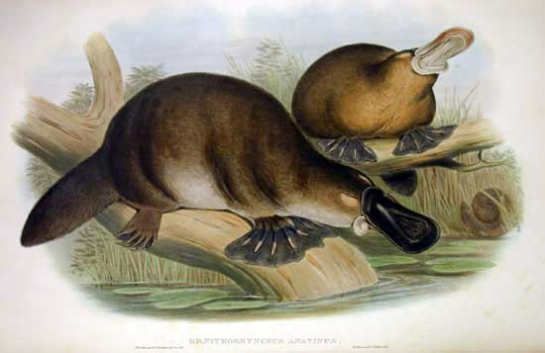 Platypus-sketch