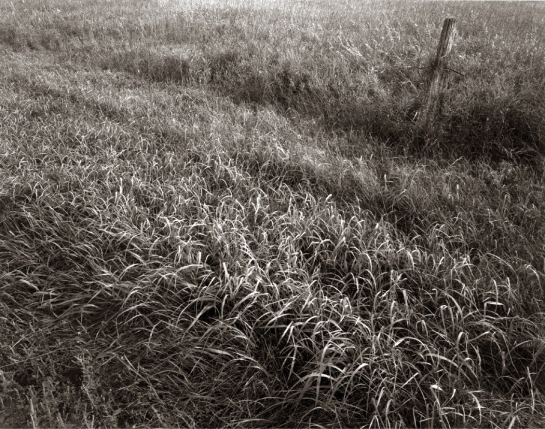 Maine grass