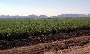 blythe farmfield