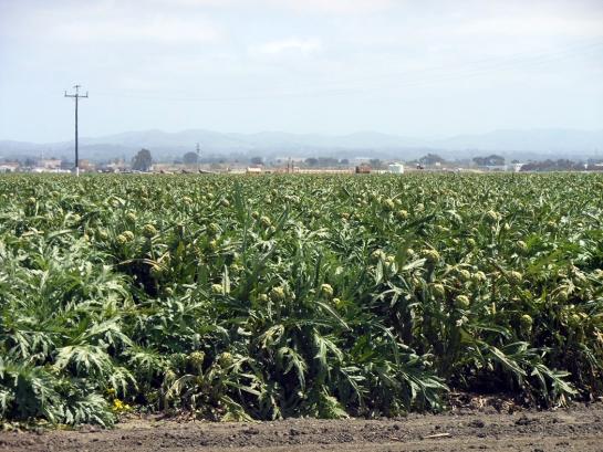 castroville artichokes