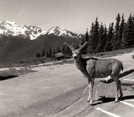 Deer at Hurricane Ridge Olympic NP