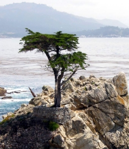 Lone cypress in 17-mile drive