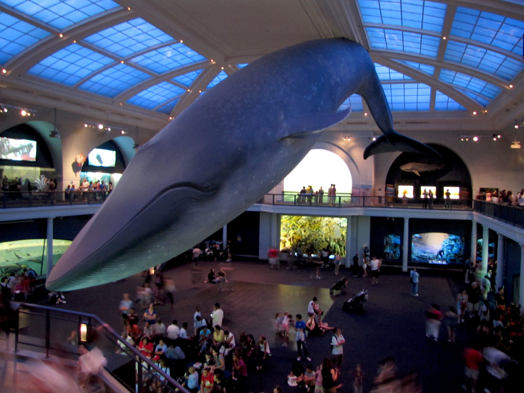 museum blue whale