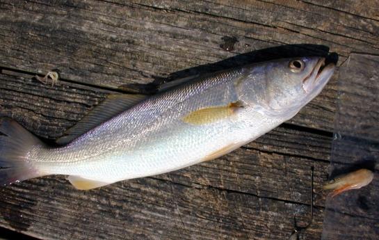 White trout