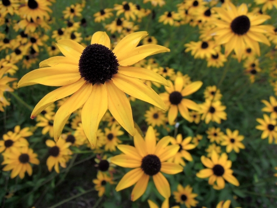 blackeyedsusan1 copy