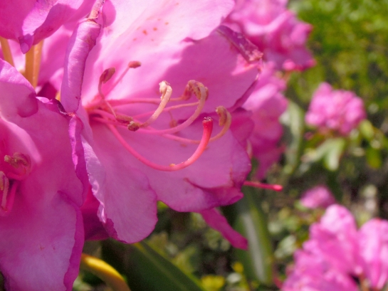 flower - Catawba Rhododendron pistils