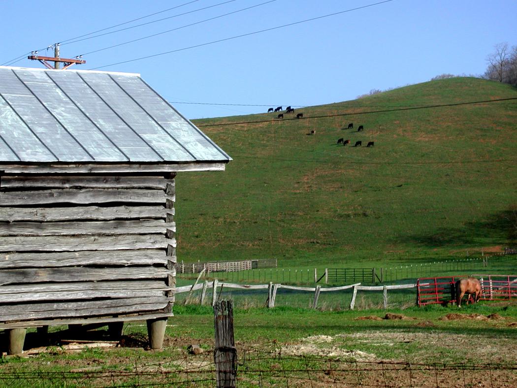 Ashe Co. hillside cows