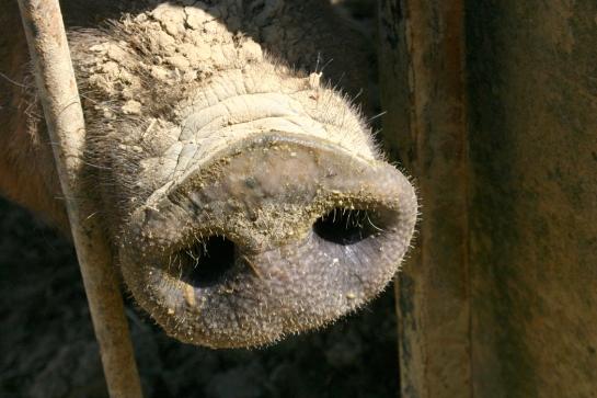 hog snout