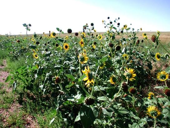 Pawnee sunflowers