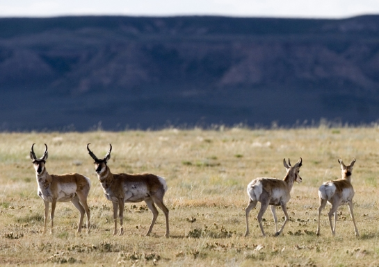 Pronghorn, the fastest land animals in the western hemisphere