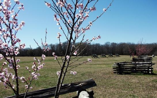 shiloh peach blossoms