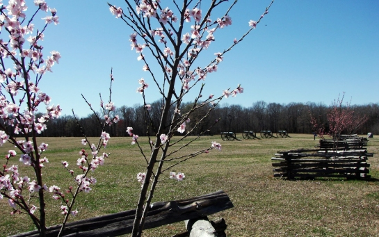 shiloh peach blossoms