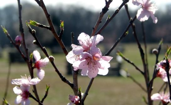 shiloh peachblossoms 2