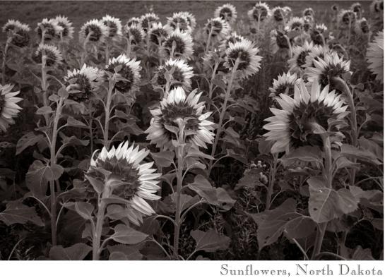 Sunflowers ND 01