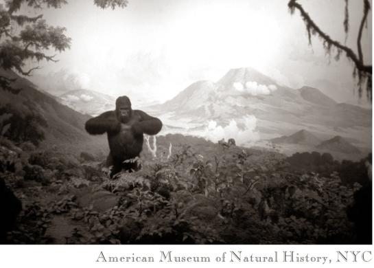 03 Gorilla, Am Mus Nat Hist04