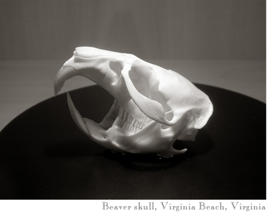 11 Beaver skull