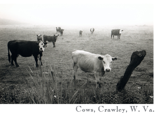 24 Cows, Crawley W.V