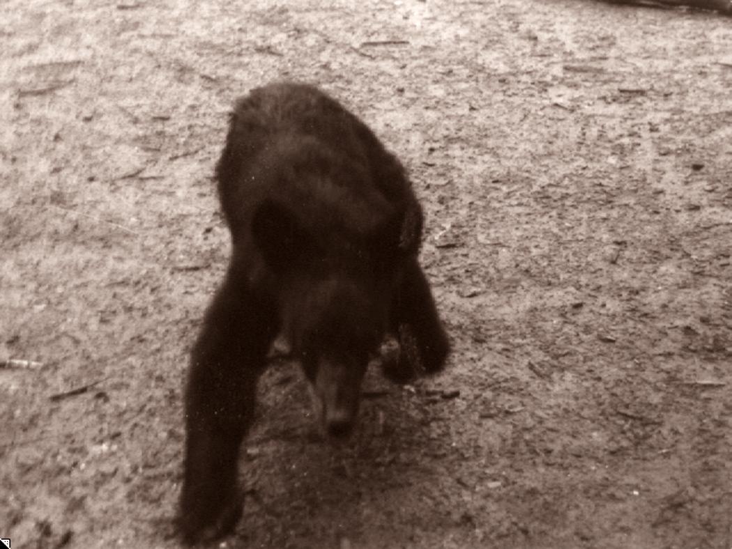 bear after me