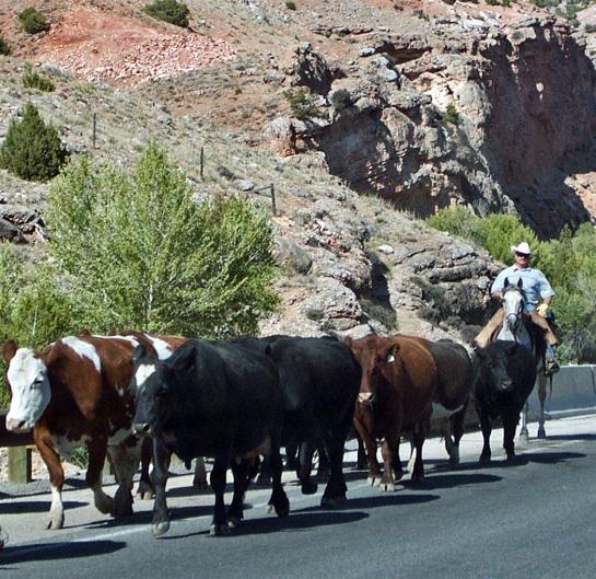 bighorn cattle