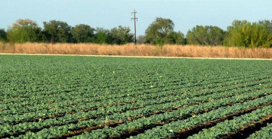 spinach, crystal city texas
