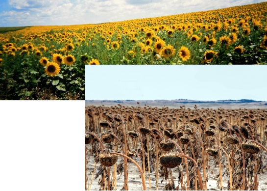 Sunflowers in two seasons