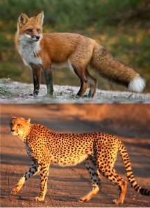 fox cheetah dyad