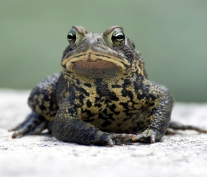 glodderbin toad 1