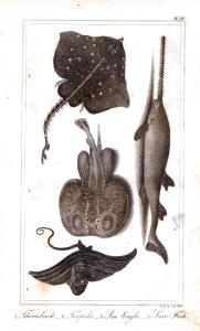 goldsmith fish 1