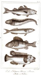goldsmith fish 4