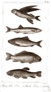 goldsmith fish 6