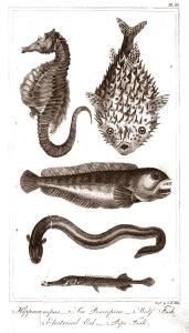 goldsmith fish 7