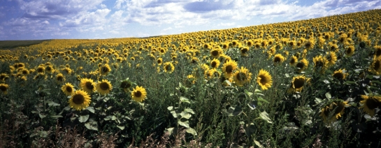 Sunflowers North Dakota