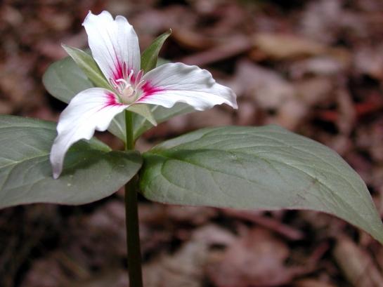 Linville trillium