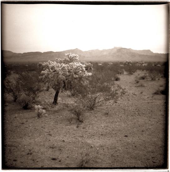 01 Cholla Organ Pipe Cactus NP Ariz