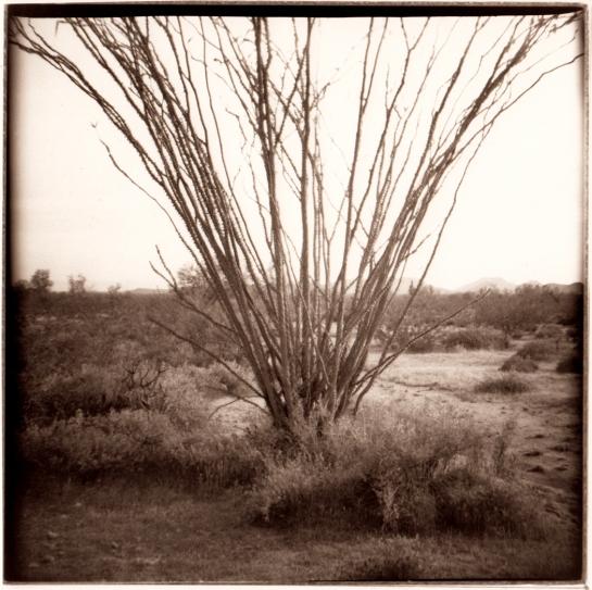 02 Ocotillo Organ Pipe Cactus NP Ariz