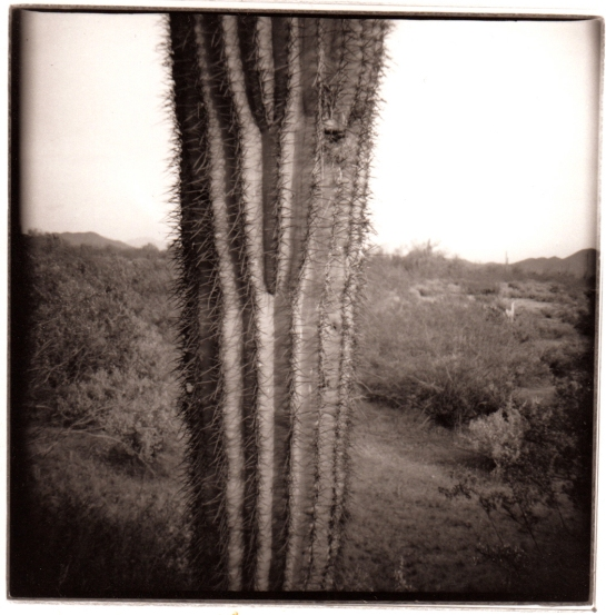 03 Organ Pipe Cactus Diana pair 3