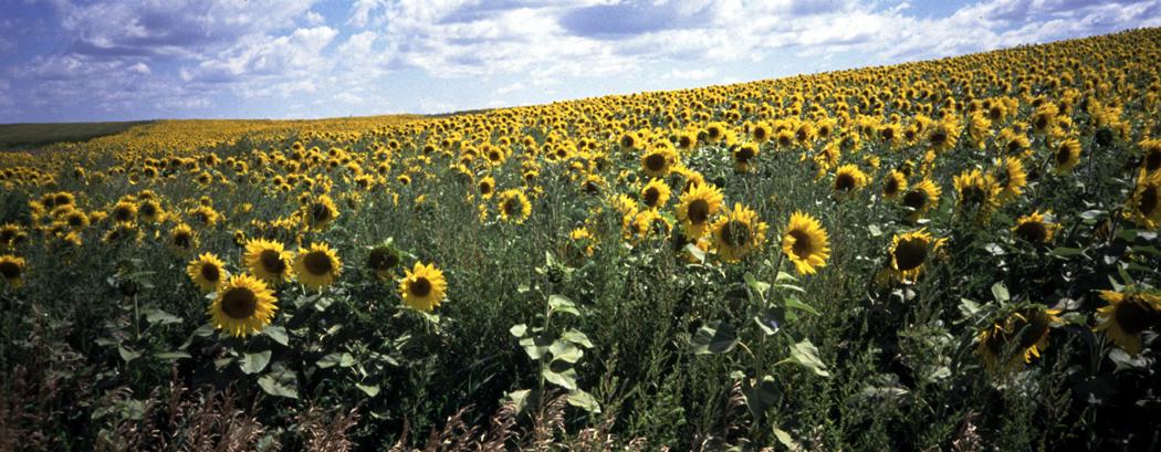 Sunflowers Zap North Dakota