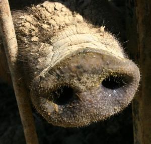 hog snout 2005