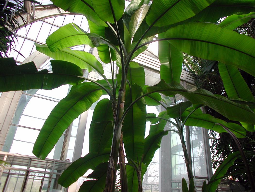 grand serre banana tree