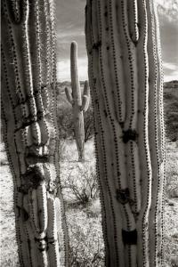 Saguaros Tucson