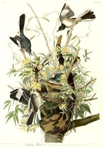 Audubon's Mockingbird