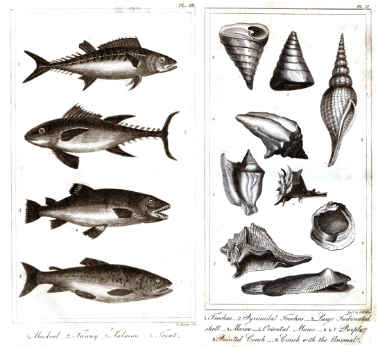 spinous and testaceous fish goldsmith