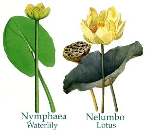 lily-lotus comparison