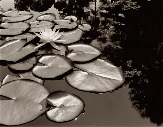 Waterlilies Brookgreen Garden, SC