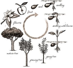 plant-life-cycle